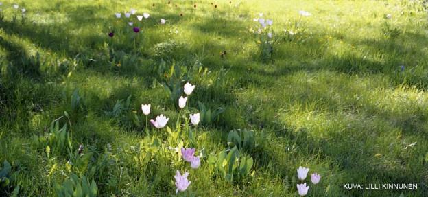 tulips_crop
